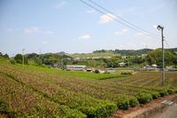 周辺のお茶畑